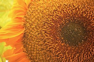 http://historicaldesign.com/wp-content/uploads/2014/09/161-BR-sunflower-blossom-.jpg