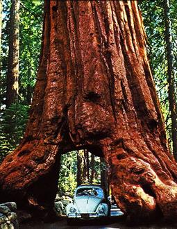 http://historicaldesign.com/wp-content/uploads/2014/09/Yosemite-National-Park-Wawona-tree-16183.jpg