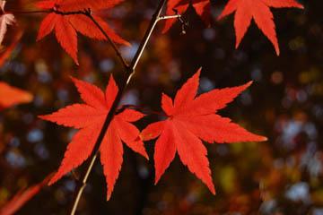 http://historicaldesign.com/wp-content/uploads/2014/10/autumn-red-maple-leaves-in-nagasaki-japan.jpg