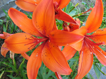 http://historicaldesign.com/wp-content/uploads/2014/11/orange-flower.jpg