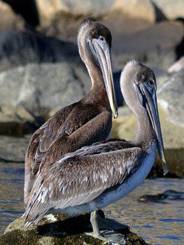 http://historicaldesign.com/wp-content/uploads/2014/11/two-pelicans-559.jpg