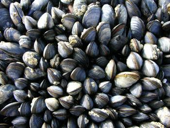 http://historicaldesign.com/wp-content/uploads/2014/12/Mussels2.jpg