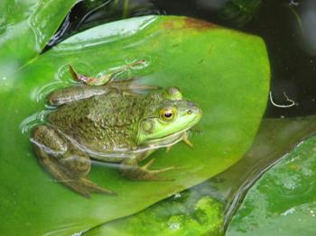 http://historicaldesign.com/wp-content/uploads/2015/02/frog-on-lily-pad-sharon-farber.jpg