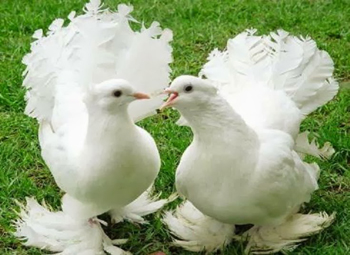 http://historicaldesign.com/wp-content/uploads/2015/03/pair-of-white-pigeons.jpg