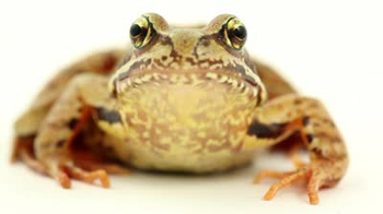 http://historicaldesign.com/wp-content/uploads/2015/03/stock-footage-brown-frog-on-white-front-view.jpg