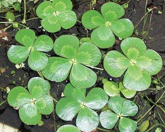 http://historicaldesign.com/wp-content/uploads/2015/04/four-leaf-water-clover.jpg