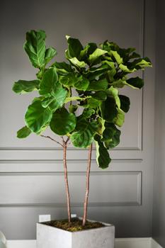http://historicaldesign.com/wp-content/uploads/2015/07/Fiddle-leaf-fig-small1.jpg