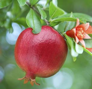 http://historicaldesign.com/wp-content/uploads/2015/09/Pomegranate-on-Tree.jpg