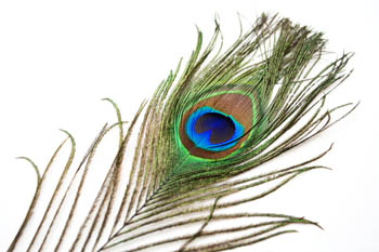 http://historicaldesign.com/wp-content/uploads/2015/09/peacock_feather_1_by_hkpasseystock.jpg