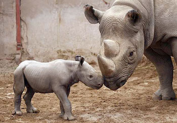 http://historicaldesign.com/wp-content/uploads/2017/02/9-B-Mom-and-baby-Rhino.jpg