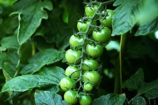 http://historicaldesign.com/wp-content/uploads/2017/05/151-R-green-tomato-cluster-copy.jpg
