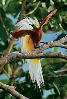 http://historicaldesign.com/wp-content/uploads/2017/10/lesser-bird-of-paradise-455v.jpg